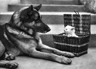Schaeferhund betrachtet Kaetzchen im Korb