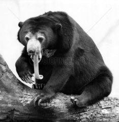 Malaienbaer mit langer Zunge