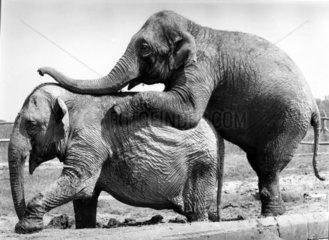 Elefant besteigt Elefant von hinten