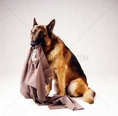 Schaeferhund mit Hose im Maul