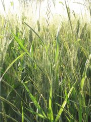 Gerste Getreide barley small grain