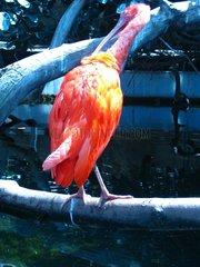 Tropischer Vogel tropical bird Scharlachsichler Eudocimus ruber