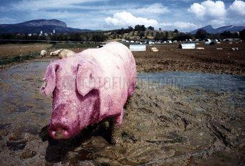 Schwein steht im Schlamm