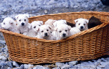 junge Hunde im Korb