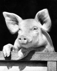 Schwein schaut aus Stall