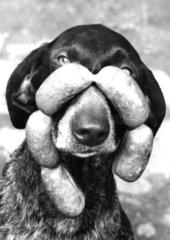 Hund mit Wurstkette am Maul