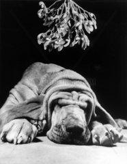 Hund schlaeft unter Mistelzweig