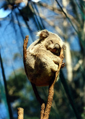 mueder Koala