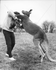 Mann kaempft mit Kaenguruh