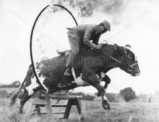 Kuh mit Reiter springt durch Feuerreifen