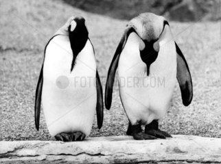 zwei Pinguine schlafen mit haengenden Koepfen