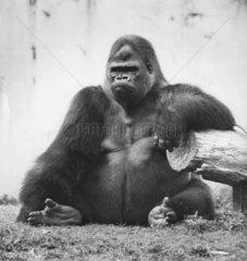 grimmig  sitzender Gorilla