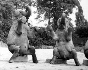zwei Elefanten machen Maennchen