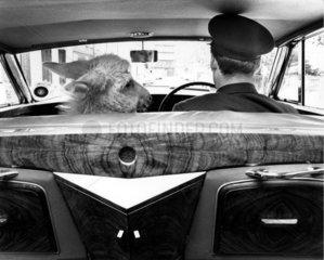 Esel mit Mann im Auto