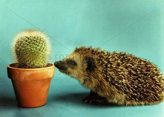 Igel mit Kaktus
