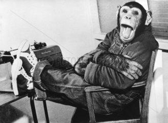 Schimpanse in Turnschuhen