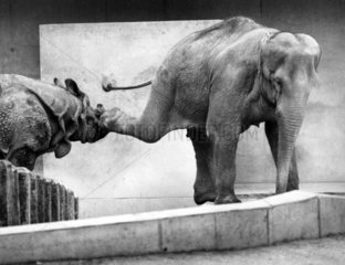 Eelefant tritt Nashorn