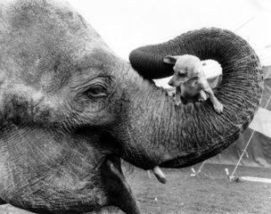 Elefant mit Hund im Ruessel