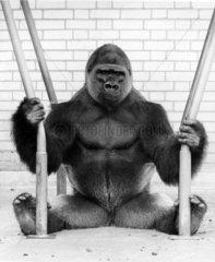 Gorilla sitzt zwischen zwei Stangen