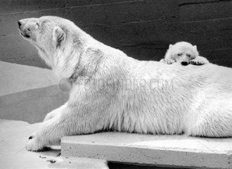 Eisbaer mit Jungem am Ruecken