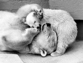 Eisbaer mit Jungem kuscheln