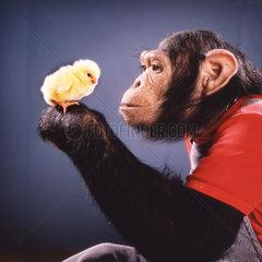 Schimpanse spielt mit Kuecken