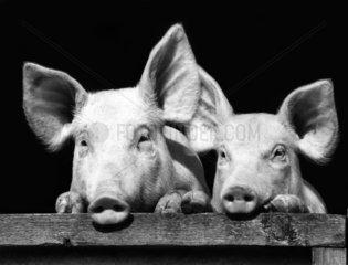 2 Schweine im Portrait