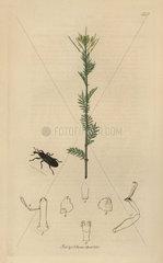Lixus angustatus  Narrowed Lixus Weevil