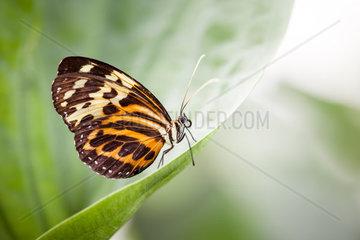 Ein wunderschoener Augenfalter Nymphalidae