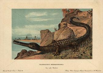 Teleosaurus  extinct crocodilian carnivore of the Cretaceous.