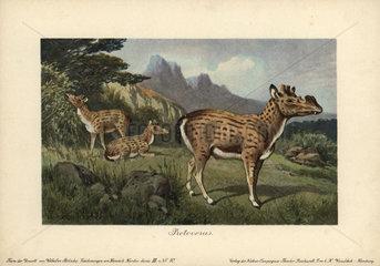 Protoceras  extinct genus of Artiodactyla  endemic to North America from the Oligocene through Miocene periods.