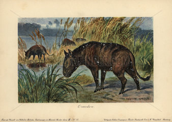 Merycoidodon or Oreodon  extinct genus of herbivore endemic to North America during the Late Eocene to Early Miocene epochs.