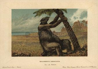 Megatherium americanum  extinct genus of elephant-sized ground sloths that lived from the Pliocene through Pleistocene periods.