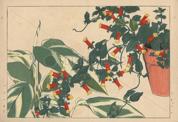 Firecracker vine  Manettia bicolor  in a flowerpot and arrowroot  Maranta arundinacea.