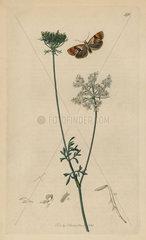 Cochylis rupicola  Chalk-cliff Tortrix or Conch moth