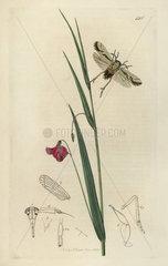 Asiraca pulchella  Pretty Asiraca