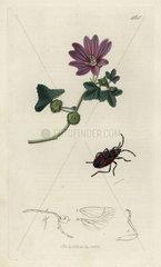 Pyrrhocoris apterus  Masked Bug
