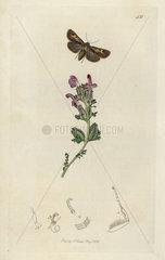 Cerapteryx hibernicus  Irish Antler moth