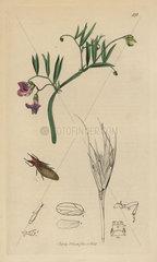 Livia juncorum  Rush Jumping-louse
