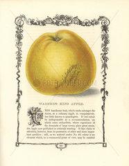 Warner's King apple  Malus domestica