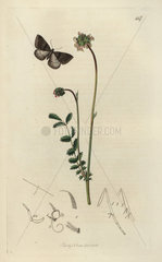 Ephyra pictaria  Kent mocha or grey carpet moth