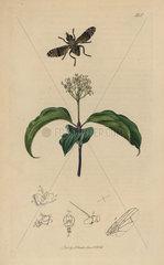 Platystoma seminationis  Spotted Flat-headed Fly