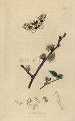 Abraxas ulmata  Yorkshire or Scarce Magpie moth