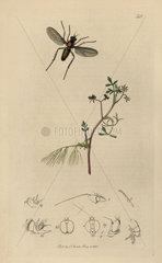 Porphyrops wilsoni  Bute Porphyrops fly