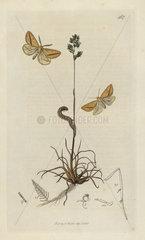 Aspitates gilvaria  Straw Belle or Dover Belle moth