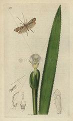 Limnephilus elegans  Elegant Grannom or Caddis-fly