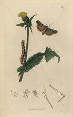 Hapalia praecox  Portland Moth