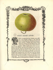 Spicy Globe apple  Malus domestica