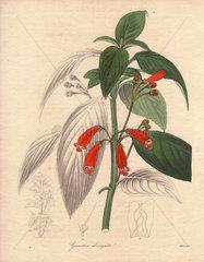 Gesneria elongata