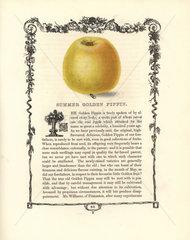 Summer Golden Pippin apple  Malus domestica
